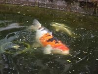 A variety of Koi Carp for sale