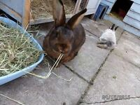 Two bunnies for rehoming