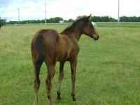 Pretty Tall DarkBay 2014Filly Friendly Easy to handle.Shown