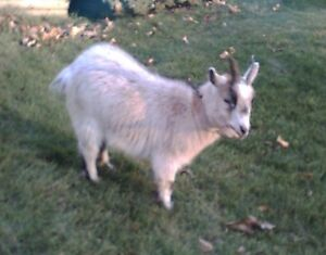 i'm looking for a male pygmy goat to buy