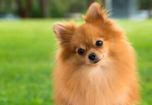 Looking to adopt a pomeranian in early July