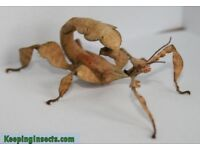 Adult Stick Insects