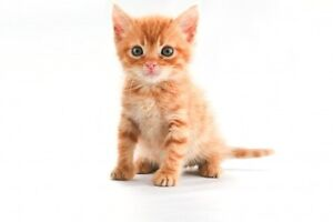 Looking for an orange male kitten (to be spoiled rotten!)