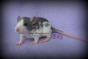 Female Baby Rats - Ready to go in 1 week!