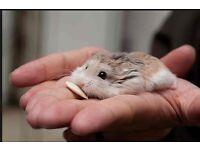 Roborovski Hamster babies x 2