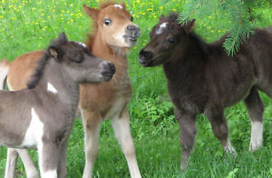 looking to buy miniature horse