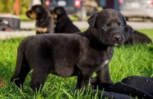 Rottweiler/lab puppies