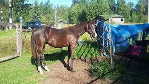 Sweet yearling paint Colt