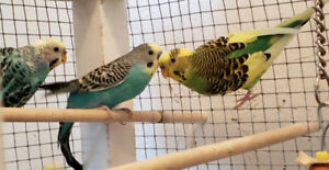 Lovely budgies