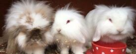 Mini Lionhead lop bucks for sale
