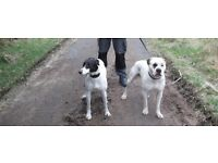 American bulldog cross lurcher puppies