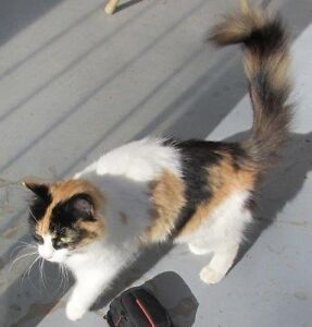 Found Calico Cat Ville-Emard