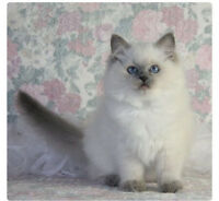 WANTED: ragdoll or ragdoll X .. Either blue point or Lynx point