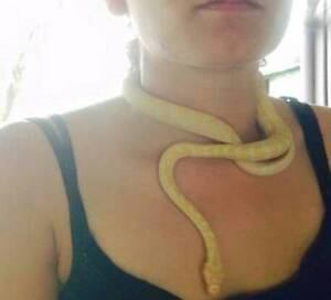 Finding owners of my snake my ex sold Clinton Gladstone City Preview