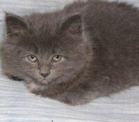 Cute fluffy kittens for sale