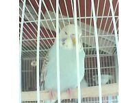 3 baby budgies for sale