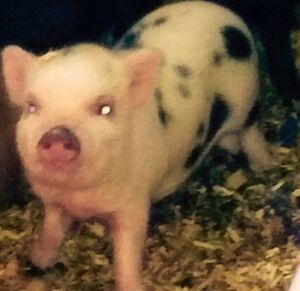 PET MINI PIGS - Only 3 Left London Ontario image 6