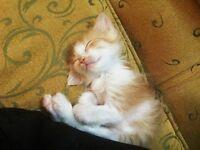 Orange & white male & female 8 weeks old kitten tiny & cute