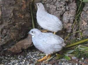 Silver King Quail Hornsby Hornsby Area Preview