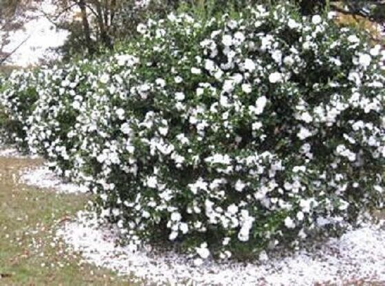 Mine No Yuki White Doves Camellia Sasanqua Live Plant Quart
