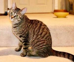"""Young Female Cat - Domestic Short Hair (Brown): """"Starfire"""""""