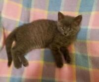 "Baby Female Cat - Domestic Short Hair-gray: ""Pewter"""