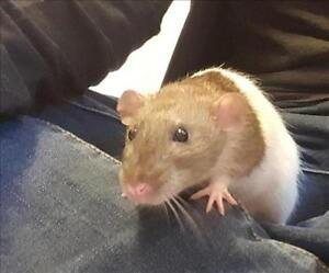 """Baby Male Small & Furry - Rat: """"Zoomer"""""""