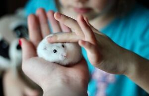 Hamsters winter white