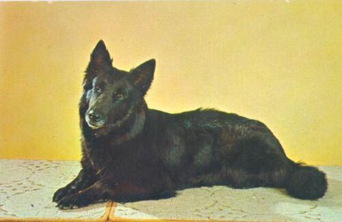 Vintage Columbia Postcard PC Belgian Sheepdog Groenendael Dog Excellent