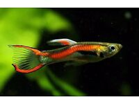 Great healthy endler guppies and two neons