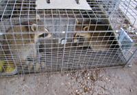 Sameday wildlife control raccoon Squirrel skunk bird removal