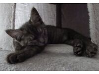 RARE smokey tabby kitten for sale female 14 weeks old aprox