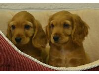 gorgeous golden cocker spaniel puppies