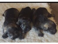 KC registered Miniature Schnauzers puppies Salt and Pepper