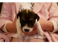 Tiny jack Russell pups