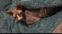 Sphynx kitty looking for a new home