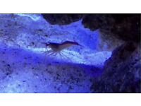 - Cleaning Crew: (Cleaner Shrimp, 3 Hermit Crab and 3 Snails), Marine
