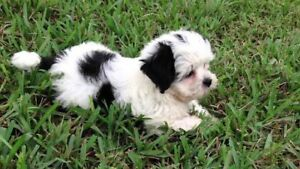 WANTING a male Maltese shihtzu