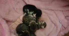 Kittens 4 weeks and 1 week old