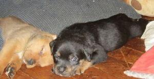 Rotti/ Mastif Puppies Soon ready for their forever home's