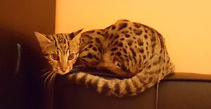 MISSING BENGAL CAT (FOREST GROVE DR.) (BURNABY)