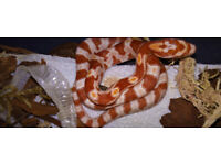 Reduced Price , ( Due to a 2nd Clutch ) Baby Corn Snakes For Sale , Just Over 1 mth old Ready to Go