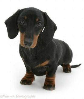 Wanted: Wanted Male miniature Dachshund