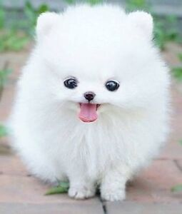 Wanted you Pomeranian Balwyn North Boroondara Area Preview