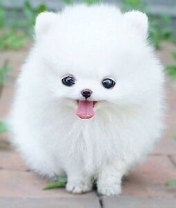 Looking for a pomsky or tea cup Pomerania Waratah Newcastle Area Preview