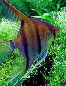 Angel fish extra large Cabramatta West Fairfield Area Preview