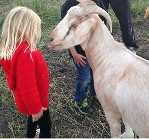 4 yr old Boer/Pygmy Goat