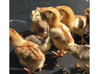 Rhode island red x cream legbars chicks only 3 females left