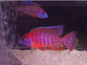 African cichlids Show males SALE !