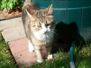 Tabby cat found Country Club West June 10/17